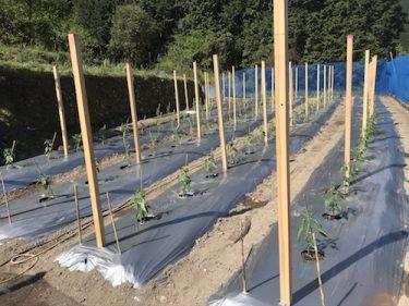 【ししとうの栽培】圃場の準備〜定植。植え方の注意点や病気・害虫の予防など|ヤイロチョウ農園